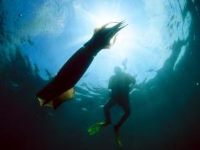 Diver and Humboldt Squid