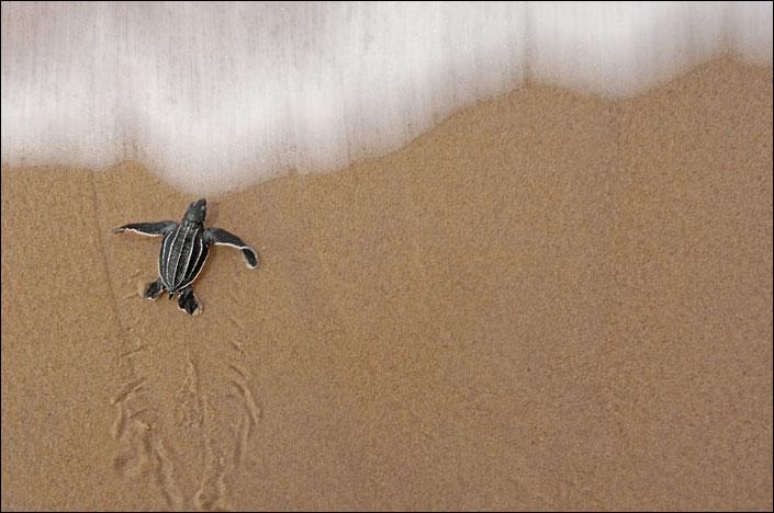 Turtle Struggle
