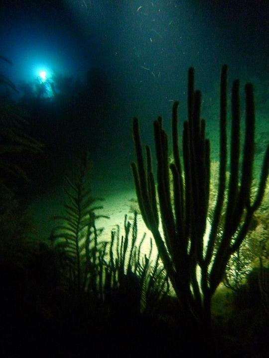 Silhouetted coral branches are illuminated from above by a diver's light during a night dive.