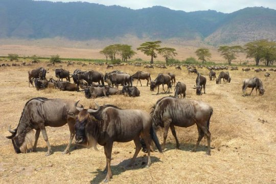 Experiencing the sight of hundreds of wildebeasts while on safari.